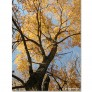 Cottonwood_trees